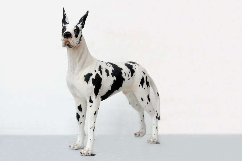 Great Dane Harlequin Dog