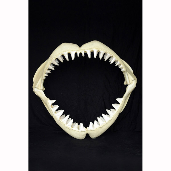 Great White Shark Jaws ( Medium )