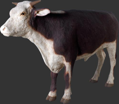 Hereford Steer